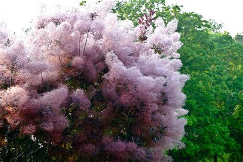 181 smoke tree english group 3