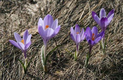 fiori di croco croco crocus vernus crocus vernus bulbi croco