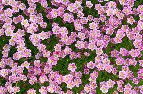 printable pictures of real flowers real flower background pictures www imgkid com the