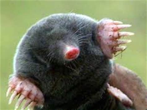 Kid Mol mole facts for