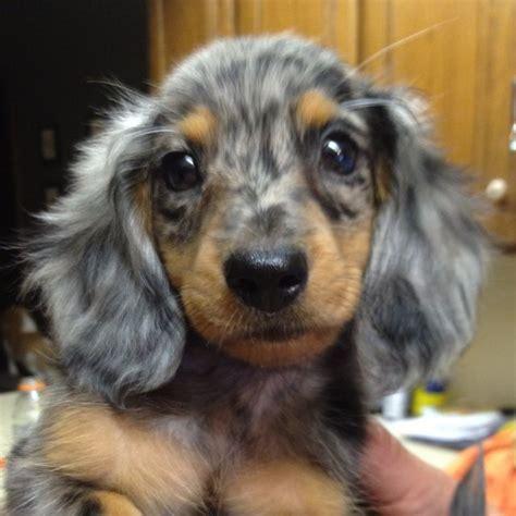 dapple dachshund puppies mini dapple dachshund