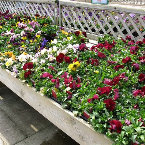 bedding plants bedding plants 28 images bedding plants annuals