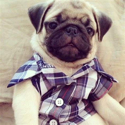 pug wear 93 best images about pugs and pets on leopard kitten the hug and pug