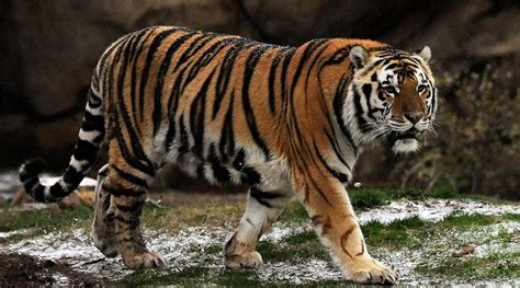 when to euthanize a with cancer cancer spreads in lsu tiger mascot mike vi si