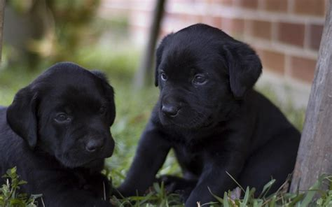 black retriever puppies labrador retriever puppies black my home i dogs