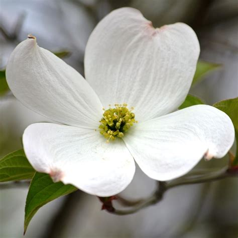 north carolina flower spring in indiana means dogwood flowers and red bud