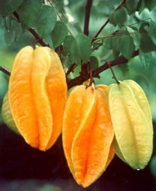 Jual Bibit Strawberry Bogor jenis jenis buah belimbing waras farm