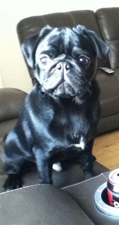 black pugs for sale california black pug puppy for sale chester cheshire pets4homes