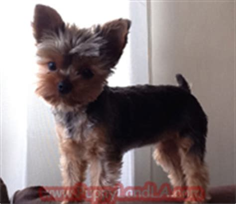 hair cut for tea cup yorkies male yorkie poo haircuts rachael edwards