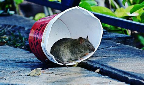 how to get rid of rats in the garden for and why
