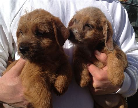 puppies quotes norfolk terrier puppies quotes