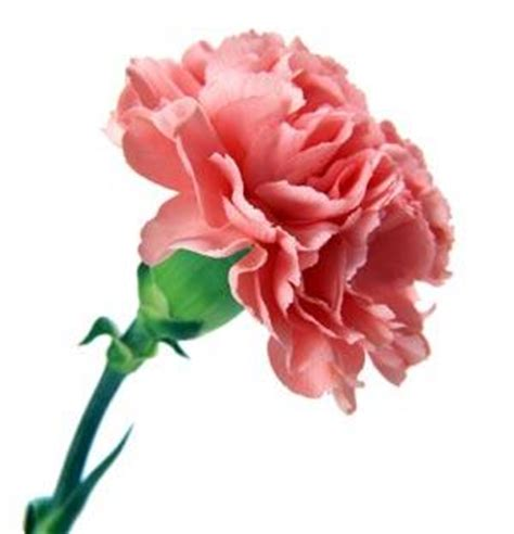 Carnation Picture 10