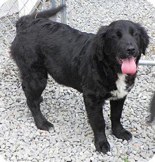 golden retriever flat coat mix sherlock adopted puppy liberty center oh golden