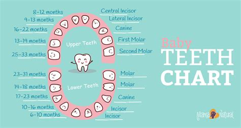 teeth map baby teeth chart what order do they come in