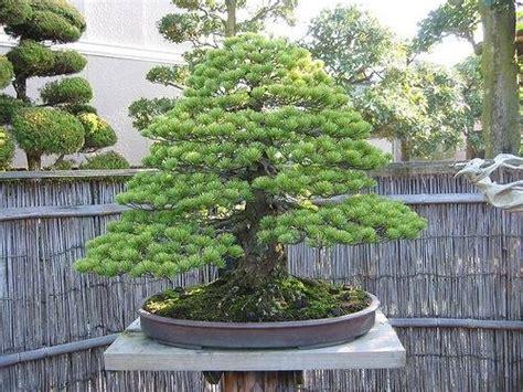 pino nano in vaso bonsai abete schede bonsai