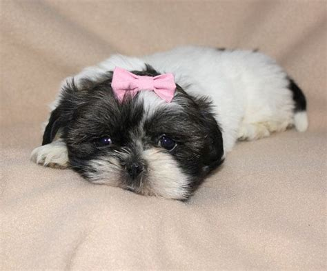shih tzu hair accessories small salmon pink hair bow great for small dogs small puppies hai