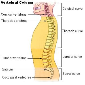 5 sections of the spinal column lumbar vertebrae orthopaedicsone articles orthopaedicsone