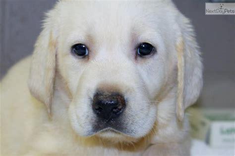 puppies augusta ga labrador retriever puppy for sale near augusta 09e1b198 8401