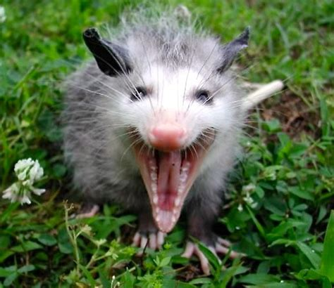 All about the Virginia Opossum   Welcome Wildlife