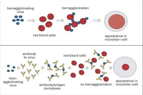 viral test haemagglutination assay viral quantitation