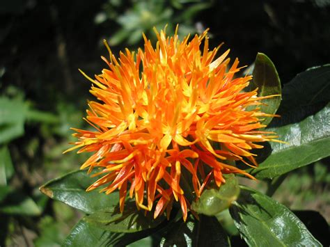 iron rye safflower safflower oil carthamus tinctorius