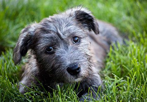 glen of imaal terrier puppies for sale glen of imaal terrier puppies for sale akc puppyfinder