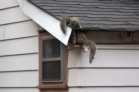 squirrels    attic