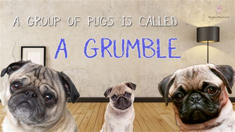 what is a of pugs called 10 random facts that will tickle your fancy slapped ham