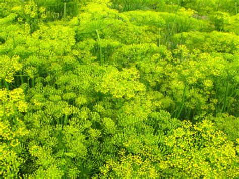 Min 100 Biji Benih Bunga Gazania jual dill benih biji bibit bunga anneui shop