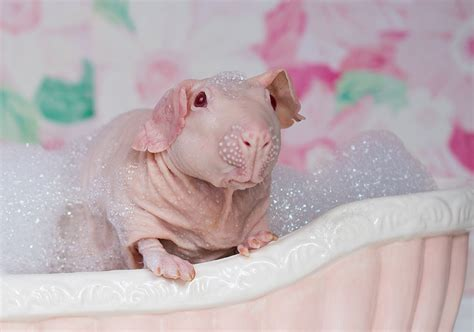 Guinea Pig Poses Totally Nude In Bath Leaving Nothing To