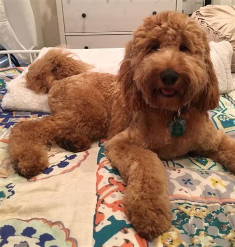irish setter golden doodle irish doodle dog breeders dogs breed sierramichelsslettvet
