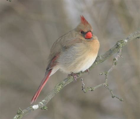 ohio bird photo collection northern cardinal