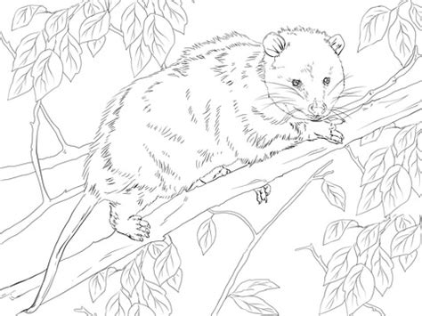 opossum coloring pages
