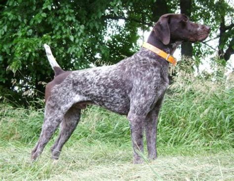 german shorthaired pointer puppies ohio why do dogs eat uk german shorthaired pointers for sale in ohio