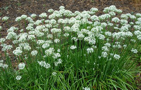 Awesome Herb Garden Plants #4: Garlic-chives-garden.jpg