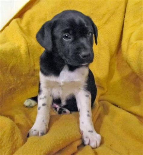 pug lab mix lab pug mix puppy wish list