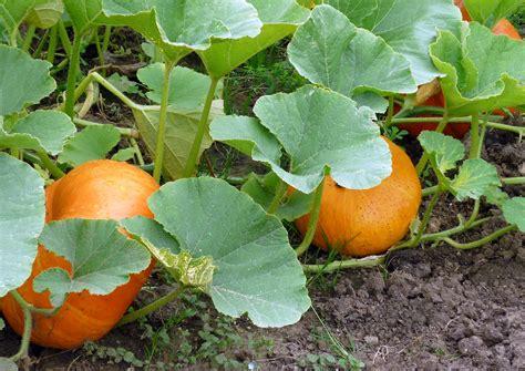 Pumpkin Garden by Growing Pumpkins In A Pumpkin The Todd And Erin