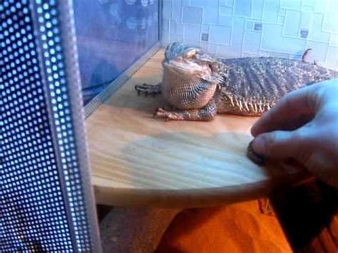 bearded dragon tank new design setup youtube