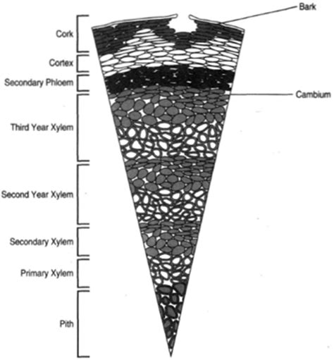 woody dicot stem cross section the woody dicot stem stems introduction to botany