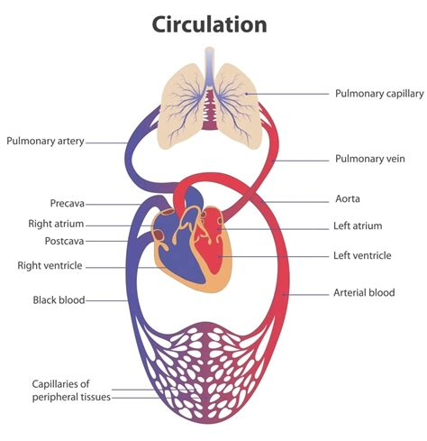 human blood circulatory system schematic diagram of blood