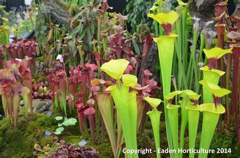 how to grow pitcher plants the garden of eaden