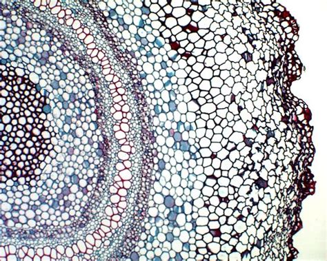 microscopic cross section vascular bundle of a fern rhizome microscopic cross