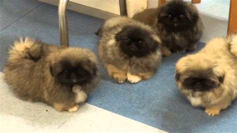 pekingese puppies for sale pekingese puppies in kennel kaimon gerheil