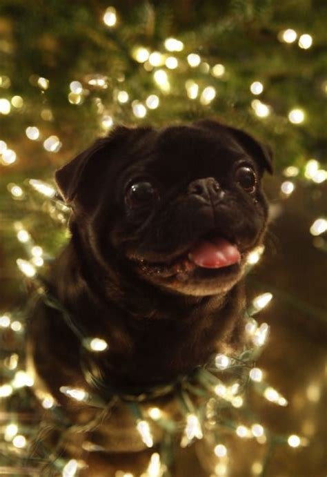 pug coughing when excited tree pug adorable pets trees pug and in the
