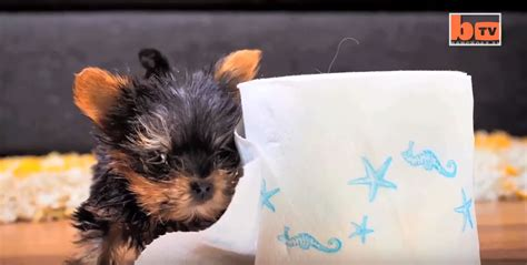worlds smallest yorkie worlds smallest yorkie breeds picture