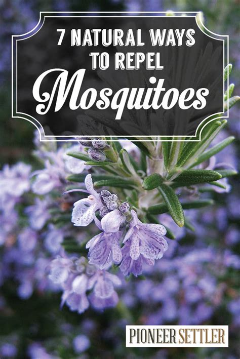 Home Remedy Mosquito Repellent by 7 Mosquito Repellent Plants Home Remedies