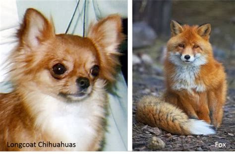 breeds that look like foxes what breed looks like a fox breeds picture