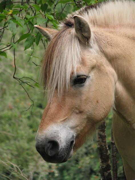 fjord paard fjordenpaard noorse fjord paard 183 gratis foto op pixabay