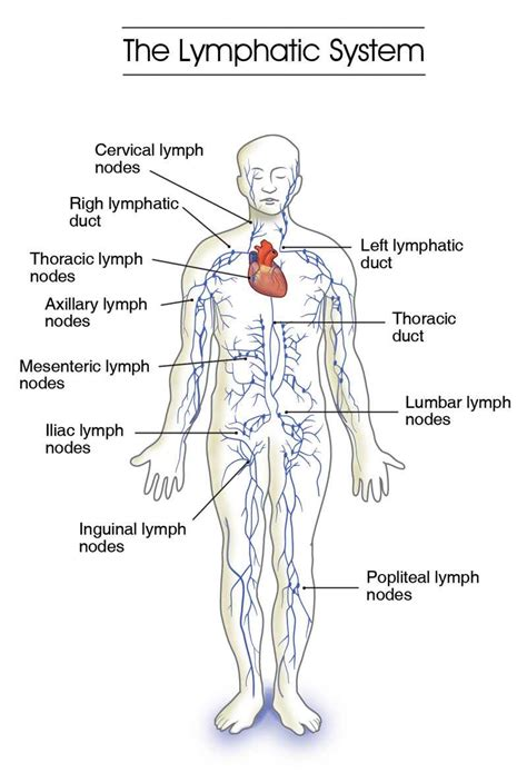 Detox Water Meaning In Tamil by Lymphatic System Diagram Leg Gallery How To Guide And