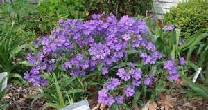 dean s garden april woodland phlox